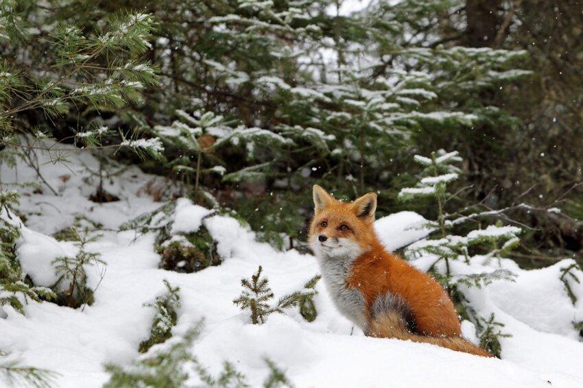 Лиса попыталась украсть фотокамеру Cunning-fox-pixanews-3