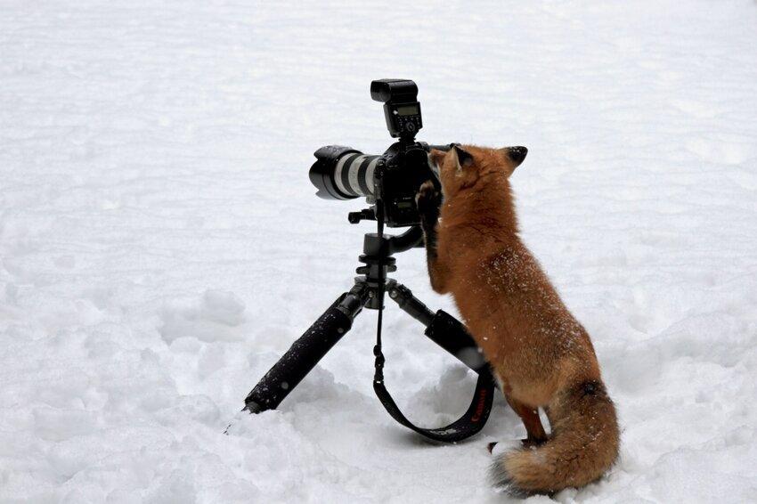 Лиса попыталась украсть фотокамеру Cunning-fox-pixanews-4