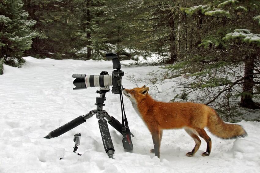 Лиса попыталась украсть фотокамеру Cunning-fox-pixanews-5
