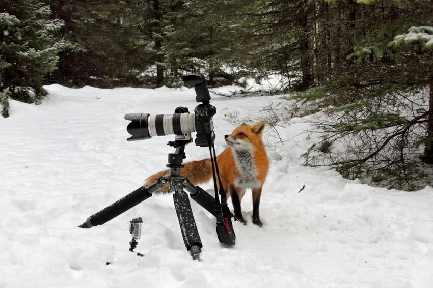 Лиса попыталась украсть фотокамеру Cunning-fox-pixanews-6