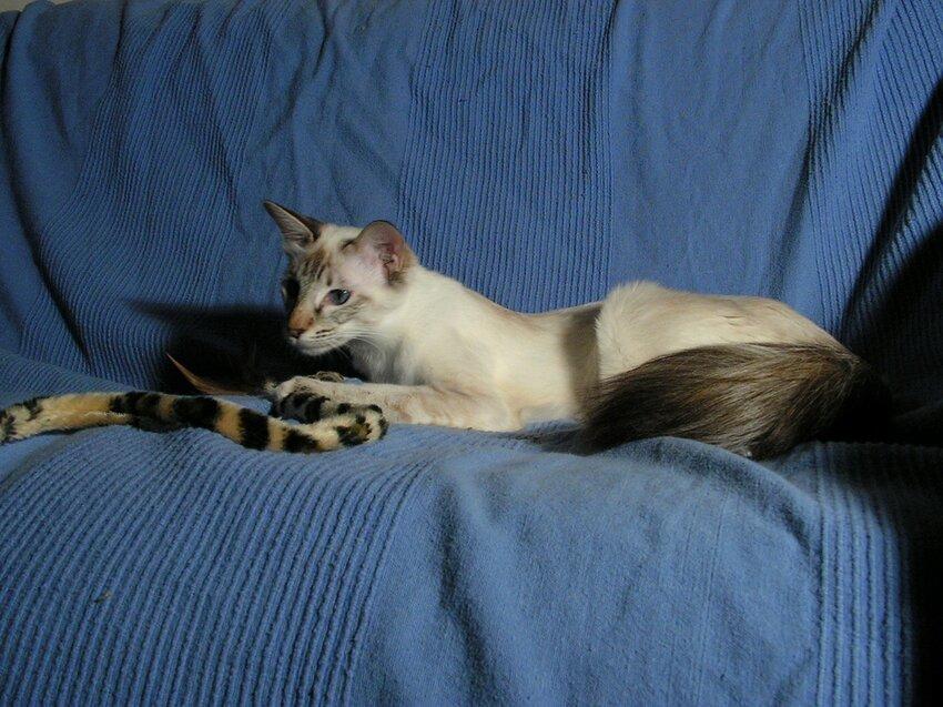Кошки!!!!!!!!!!!!! Balinez-6