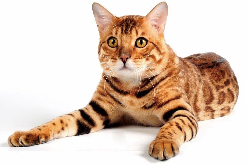 Кошки!!!!!!!!!!!!! Bengal-cat3