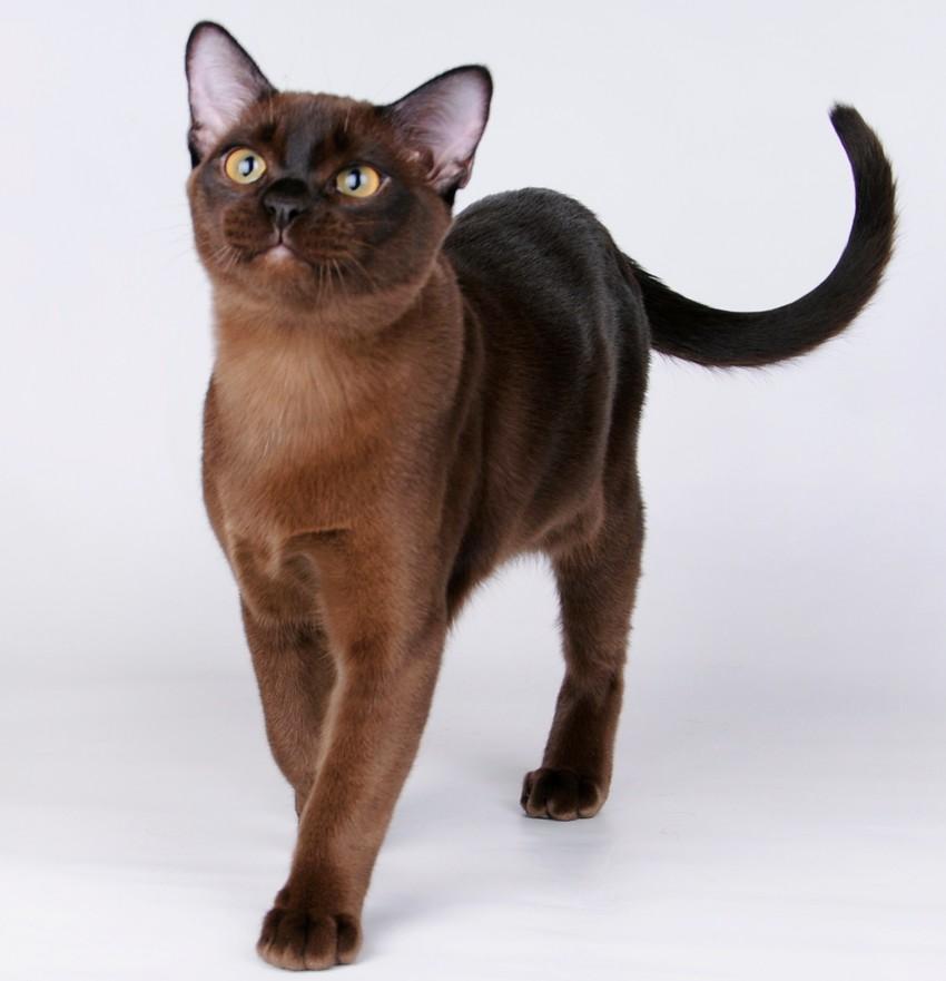Кошки!!!!!!!!!!!!! Burmanskaya2