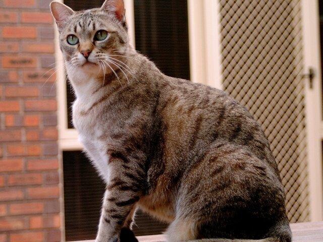 Кошки!!!!!!!!!!!!! Phoca_thumb_l_australian_mist_2