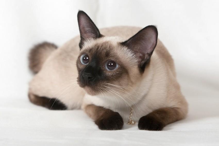 Кошки!!!!!!!!!!!!! Siam_cat_4