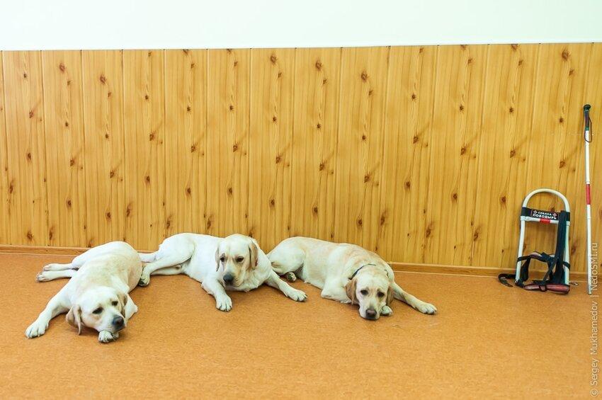 Золотые собаки 56262c8abd15904c20f06dc0ff0a7894