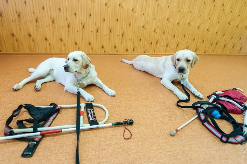Золотые собаки A28bc0f075f0ea1b5a9db1e7f905494e