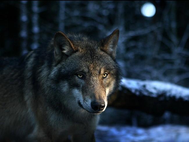 Очень красивый стих про любовь волка и волчицы 091a012412e75f0fcedc2f264eb18bb7