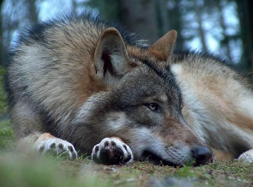 Очень красивый стих про любовь волка и волчицы 123