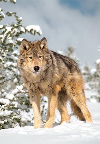 Очень красивый стих про любовь волка и волчицы 13_2