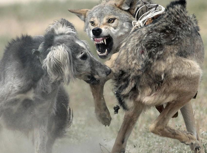 Очень красивый стих про любовь волка и волчицы 1_wolf