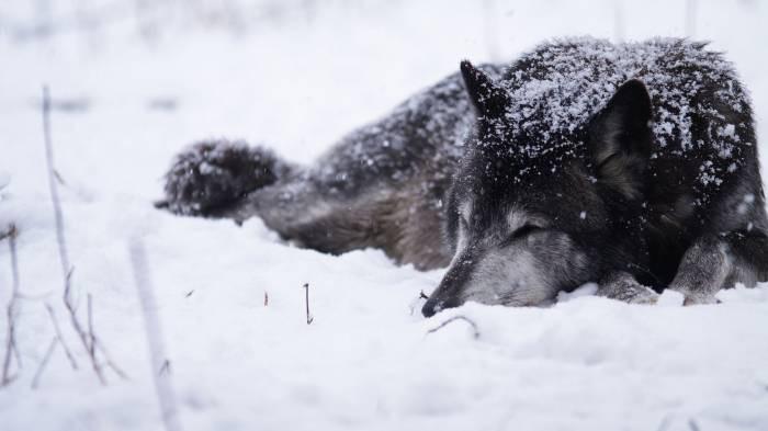 Очень красивый стих про любовь волка и волчицы 222