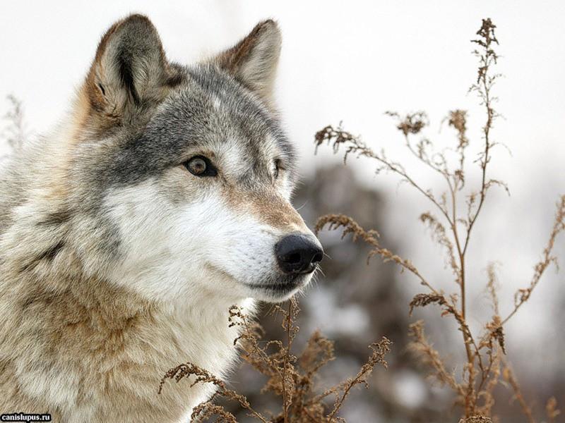 Очень красивый стих про любовь волка и волчицы 2438