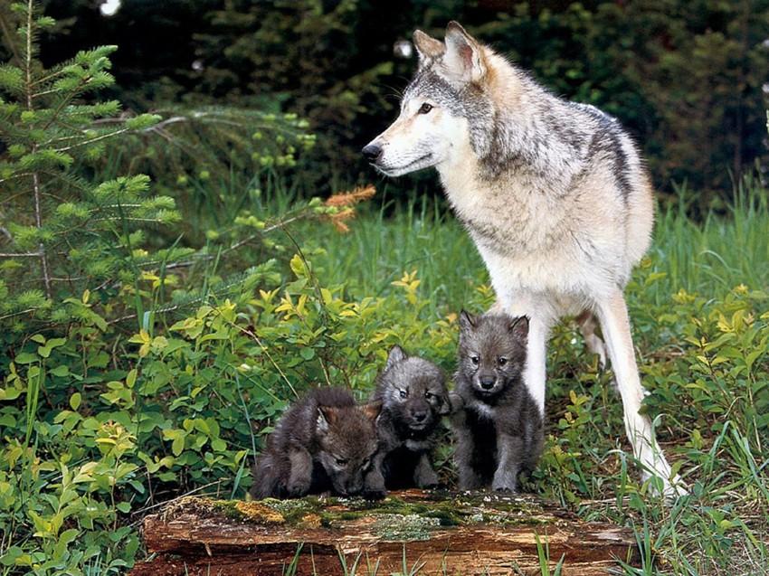Очень красивый стих про любовь волка и волчицы 2__origin_Pirmas-dienas-ritam-26