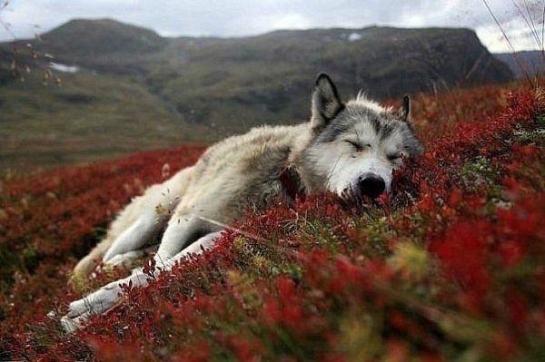 Очень красивый стих про любовь волка и волчицы 2_normal_x_3dd68fcf