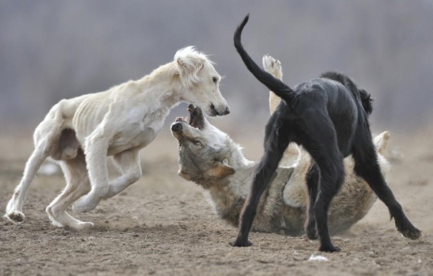 Очень красивый стих про любовь волка и волчицы 3616582_large