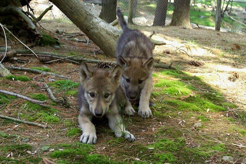 Очень красивый стих про любовь волка и волчицы Baby_wolf_2