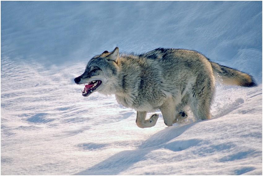 Очень красивый стих про любовь волка и волчицы __-1