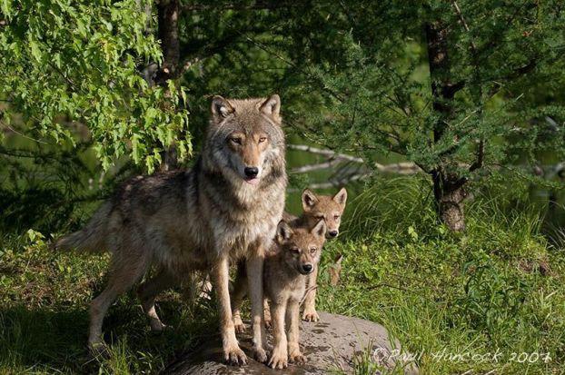 Очень красивый стих про любовь волка и волчицы C4795b6573574ca59f70bb5c9091b82b