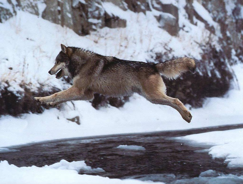 Очень красивый стих про любовь волка и волчицы Havadaki-kurt