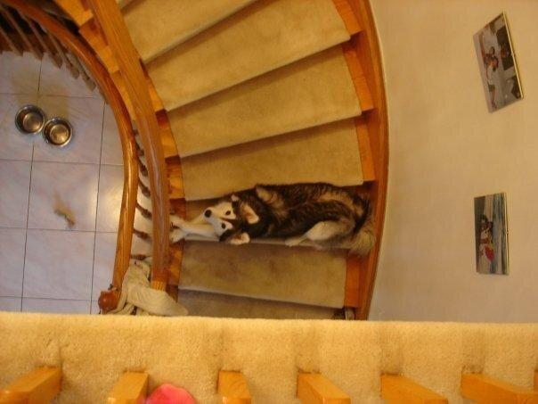 Xаски, воспитанный кошками 5e89240db82e5871b3291f8bf6e7a774