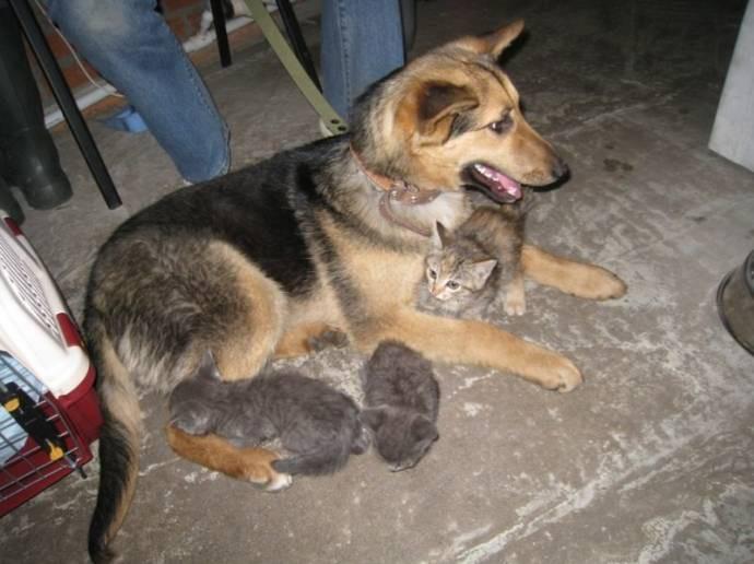В Новосибирске бездомная собака взяла под опеку семерых котя 7_3