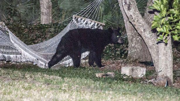Медведь прилег отдохнуть в гамаке 7_3