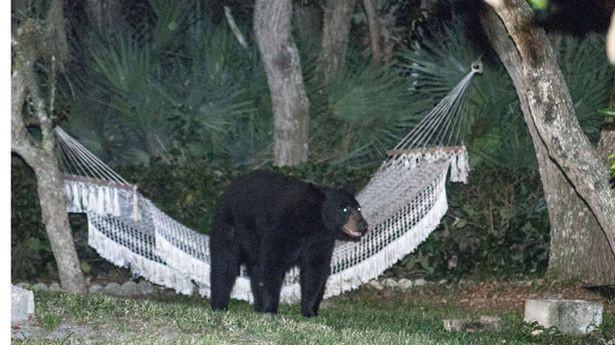 Медведь прилег отдохнуть в гамаке 7_4