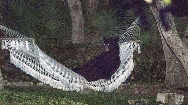 Медведь прилег отдохнуть в гамаке 9_1