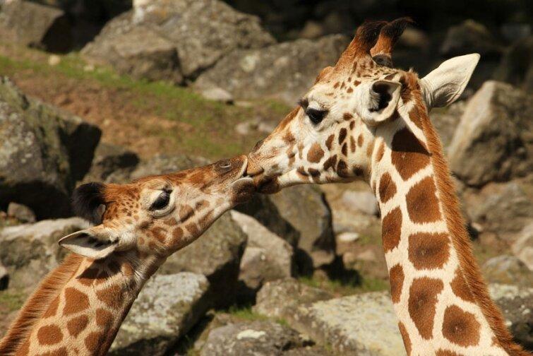 15 очаровательных поцелуев среди животных 20140606163721