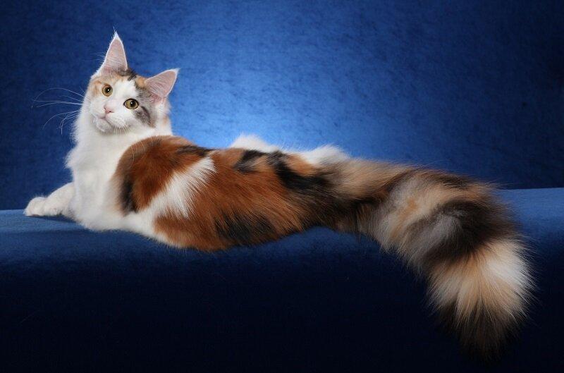 Мейн-ку́н (англ. Maine Coon) — аборигенная порода кошек Соединенных Штатов 02f8710da4521643676f5d71ad296491