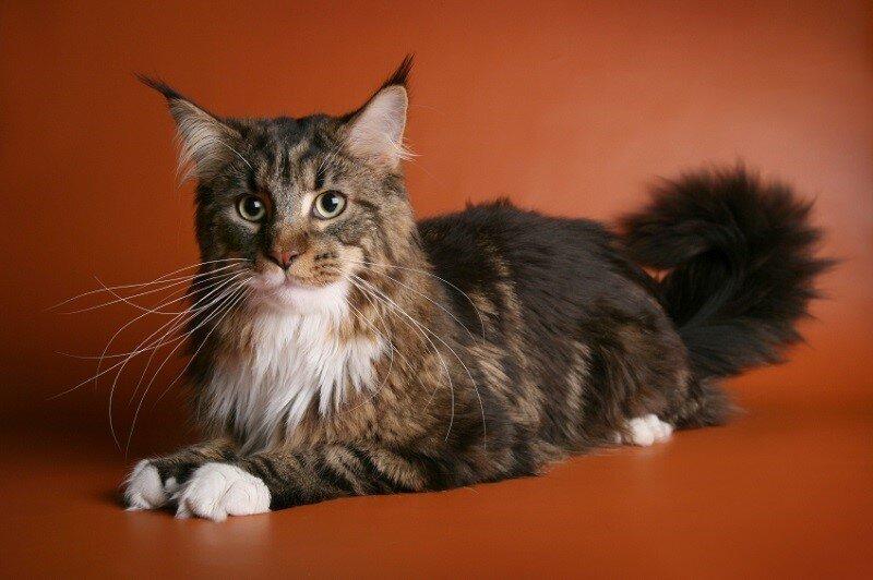Мейн-ку́н (англ. Maine Coon) — аборигенная порода кошек Соединенных Штатов 17fab98a934517b7bb226bfeb223660b