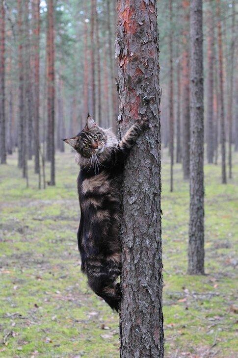Мейн-ку́н (англ. Maine Coon) — аборигенная порода кошек Соединенных Штатов 18c3ead09b529aaf7c742748cdfbdd10