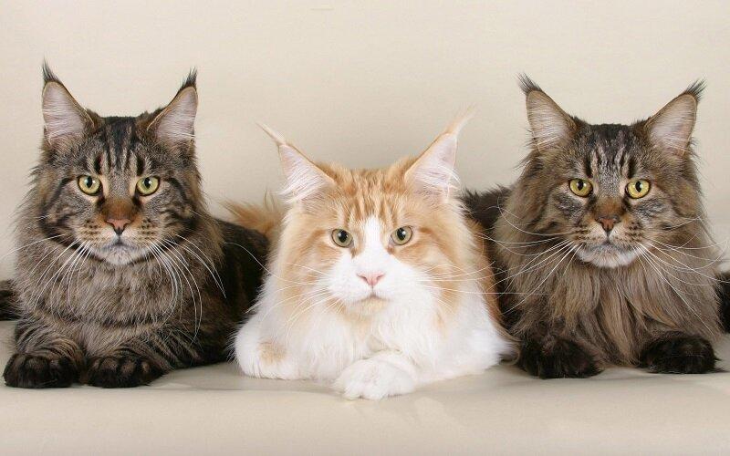 Мейн-ку́н (англ. Maine Coon) — аборигенная порода кошек Соединенных Штатов 2a8755bfc1a8ea14bbd18a78c1cea446