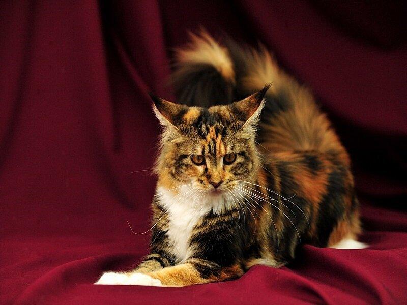 Мейн-ку́н (англ. Maine Coon) — аборигенная порода кошек Соединенных Штатов 467ba126b2e231eb55ae47f34cad45ef