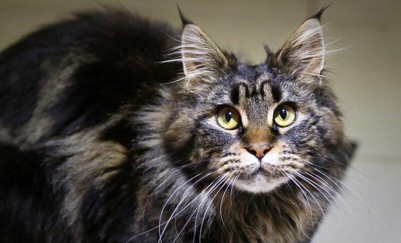 Мейн-ку́н (англ. Maine Coon) — аборигенная порода кошек Соединенных Штатов 54fa0d2c62c9748f5a1cb0db9f472454