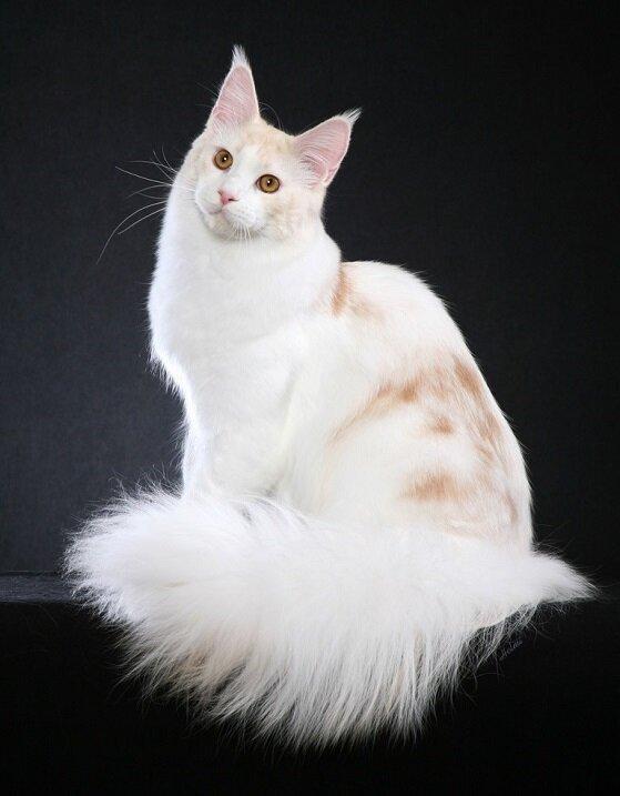 Мейн-ку́н (англ. Maine Coon) — аборигенная порода кошек Соединенных Штатов 597fe0e32377042753cc4160086f8cfc