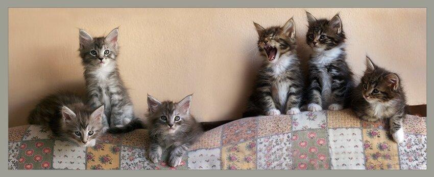 Мейн-ку́н (англ. Maine Coon) — аборигенная порода кошек Соединенных Штатов 6cafb2b76bafcd1f33048586d0ea2195