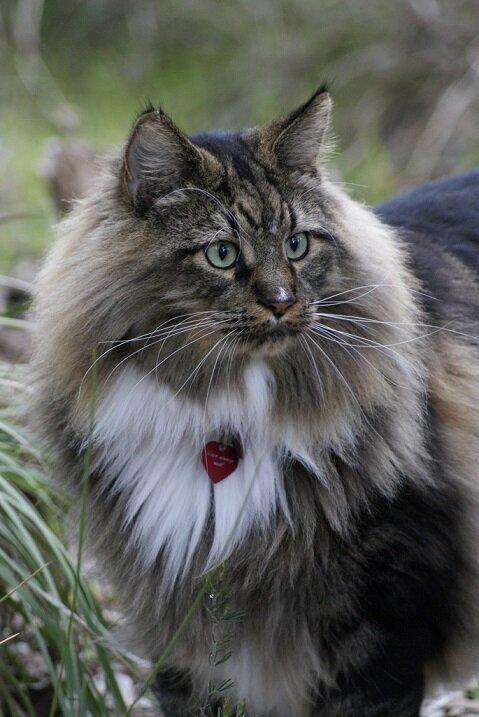 Мейн-ку́н (англ. Maine Coon) — аборигенная порода кошек Соединенных Штатов 865eed6c3fdd4694244ee0988c171f06