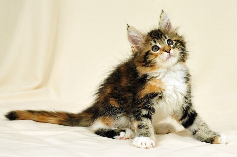 Мейн-ку́н (англ. Maine Coon) — аборигенная порода кошек Соединенных Штатов A1a7fe0a68e8a032f246576848c6511a