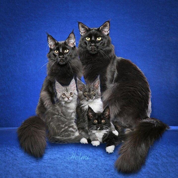 Мейн-ку́н (англ. Maine Coon) — аборигенная порода кошек Соединенных Штатов Bb5a35345d29f834c6c58ac97553d2ab