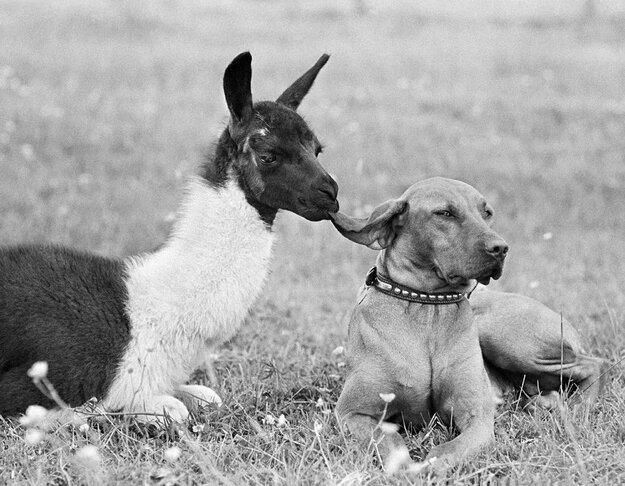 Невероятная дружба между животными 59214820878805878a31a807490f7aaf