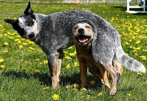 22 невероятных факта о собаках  1_1403461860_07
