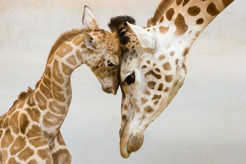 25 очаровательных примеров родительской любви 204b65434dcffe5727aada38c68e6d28