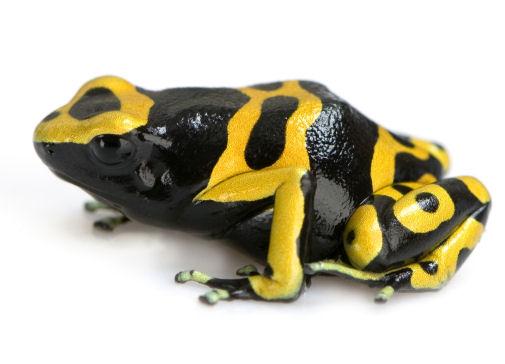 ســــجــــل حضورك اليومى بصورة على ذوقــــــــك - صفحة 2 Poison-dart-frog