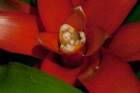 Petits vers dans le coeur de la fleur d'un Guzmania 42b95226-ea14-4c2b-bc6b-fa3b882e0fc6