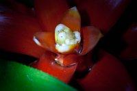 Petits vers dans le coeur de la fleur d'un Guzmania 9e078abd-0587-433e-b960-f21065aa0f0b