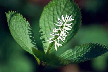VƯỜN CÂY HOA ĐV I - Page 2 Chloranthus_japonicus0315