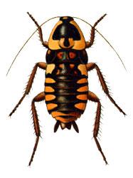 Малоизвестные виды тараканов Neostylopyga_ornata