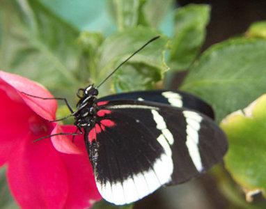Bộ sưu tập cánh vẩy 4 - Page 47 Eleuchia_longwing_butterfly_2.300a